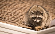How to remove raccoons and other animals from your home, roof or attick