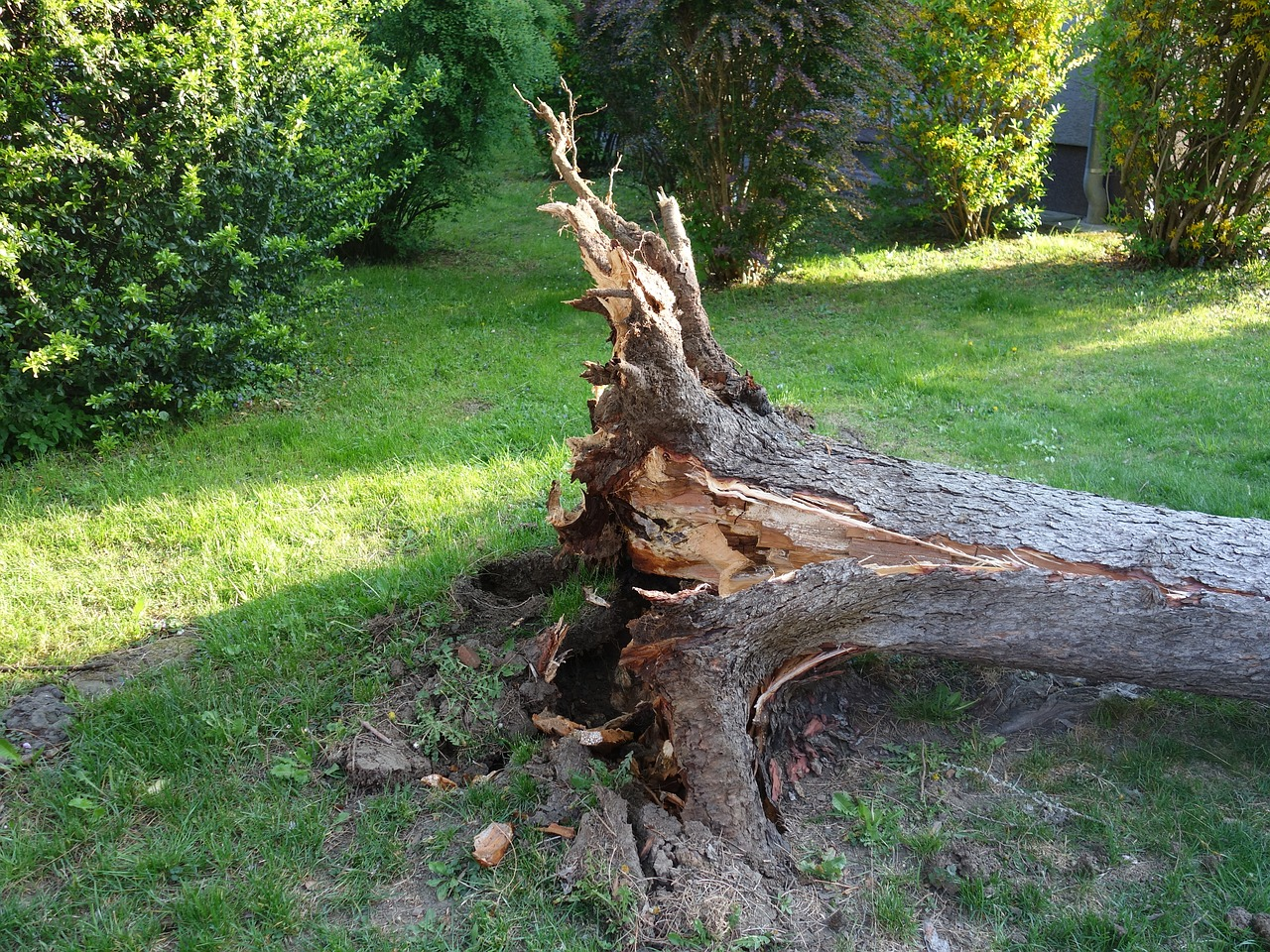An overturned tree